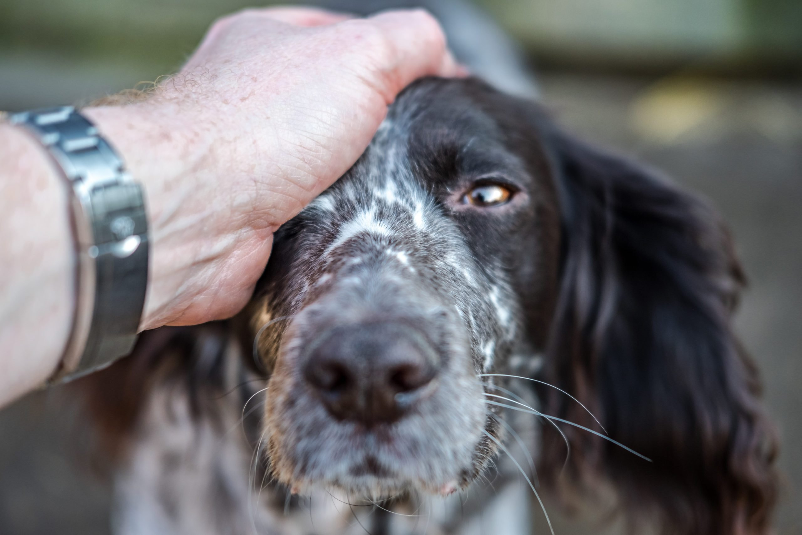 Close-up, shallow focus of part of the head of an adult Spaniel dog looking at the photographer.