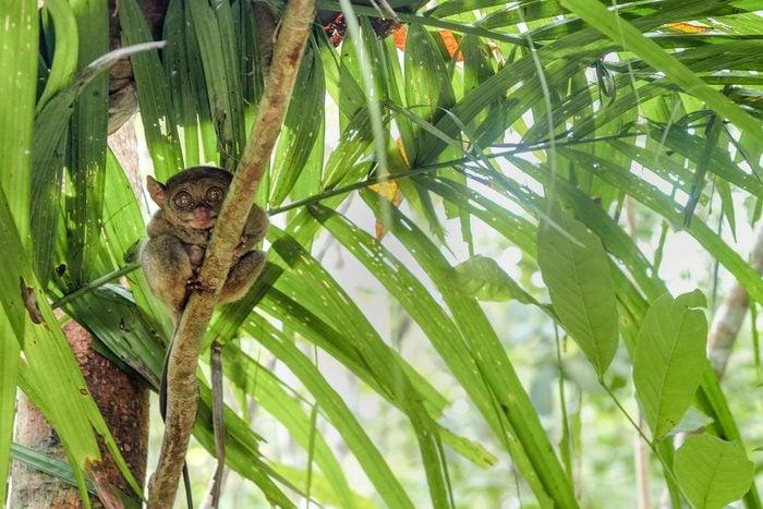 Philippine tarsier - world smallest primate