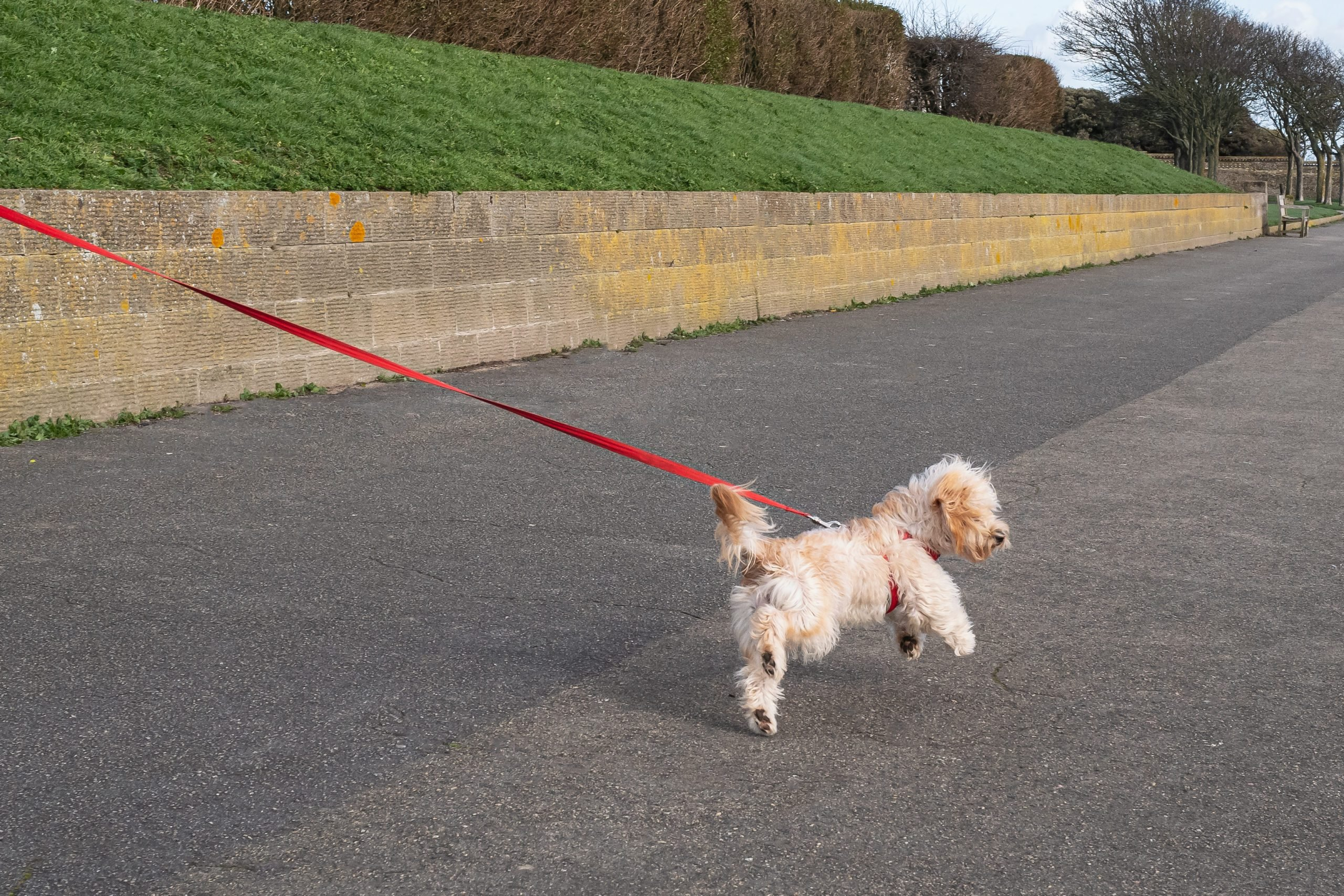Cute Maltese type fluffy dog outside pulling on a red lead or leash