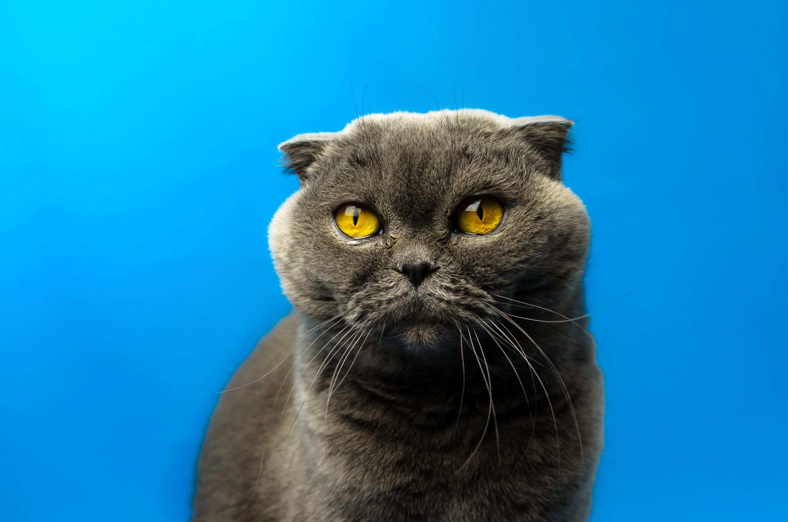 Scottish fold cat on an isolated blue colored background against the light, bright silhouette, portrait, copy space