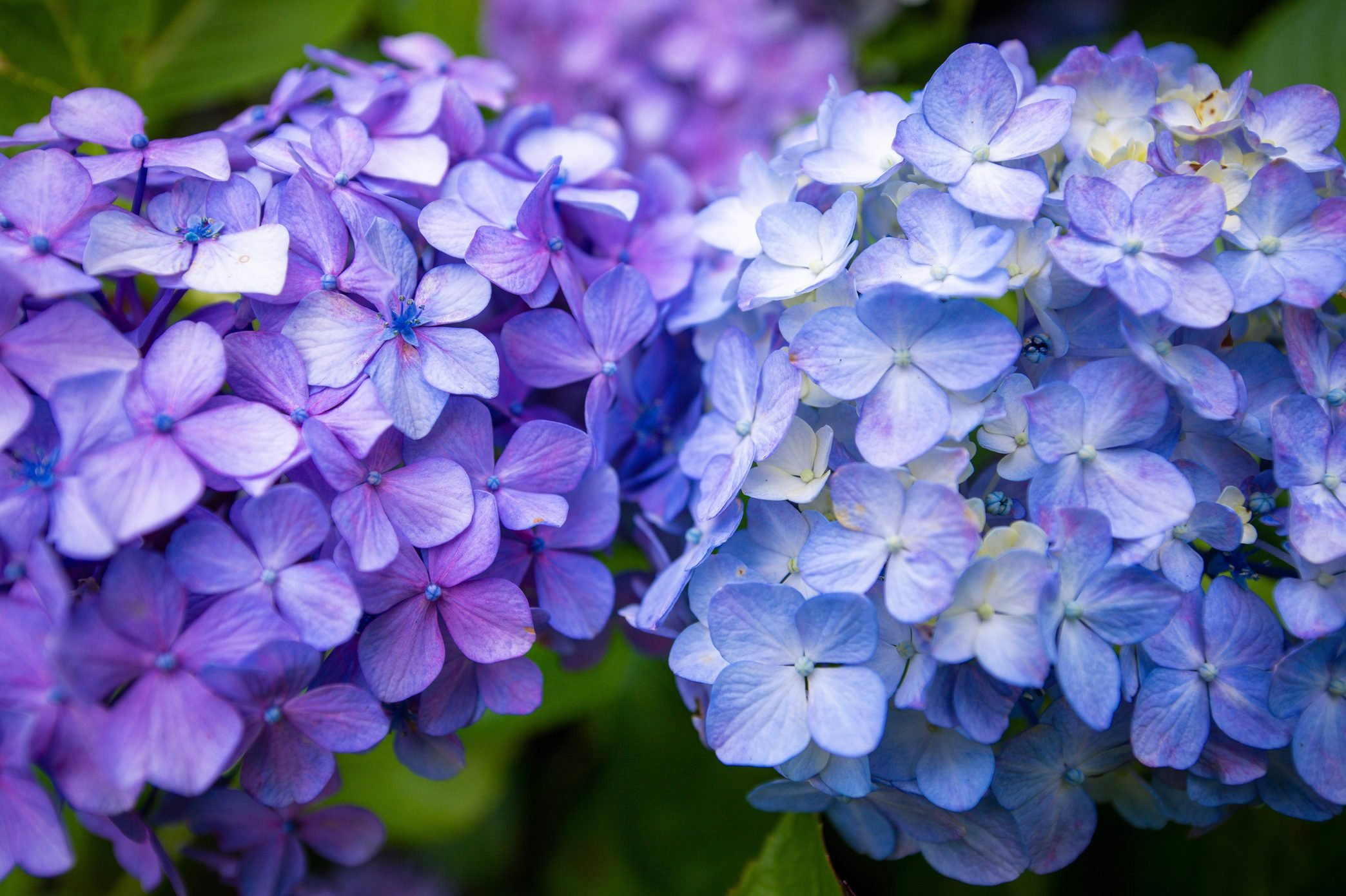 A difference color pair of Hydrangea