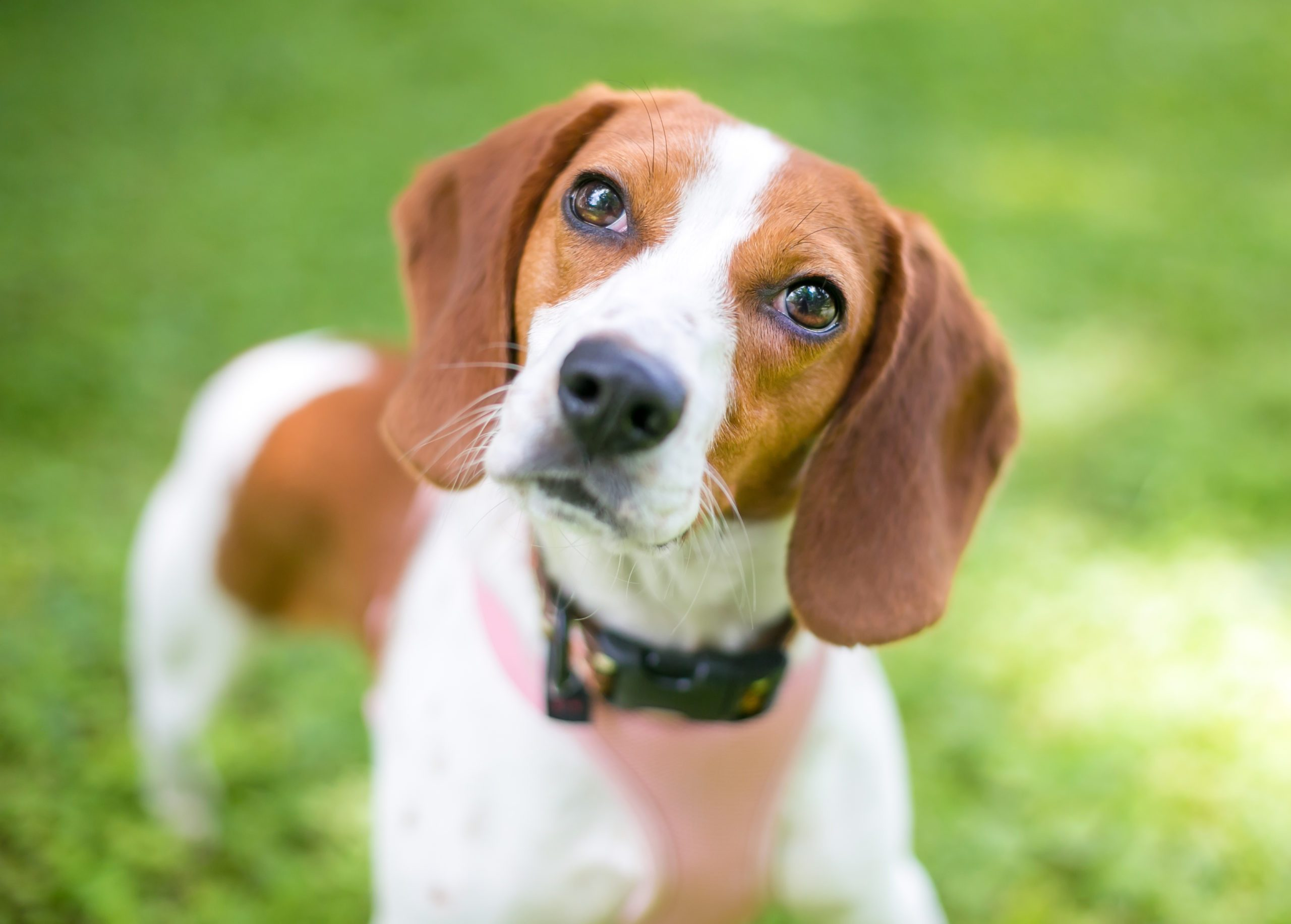 A red and white Beagle dog listening with a head tilt