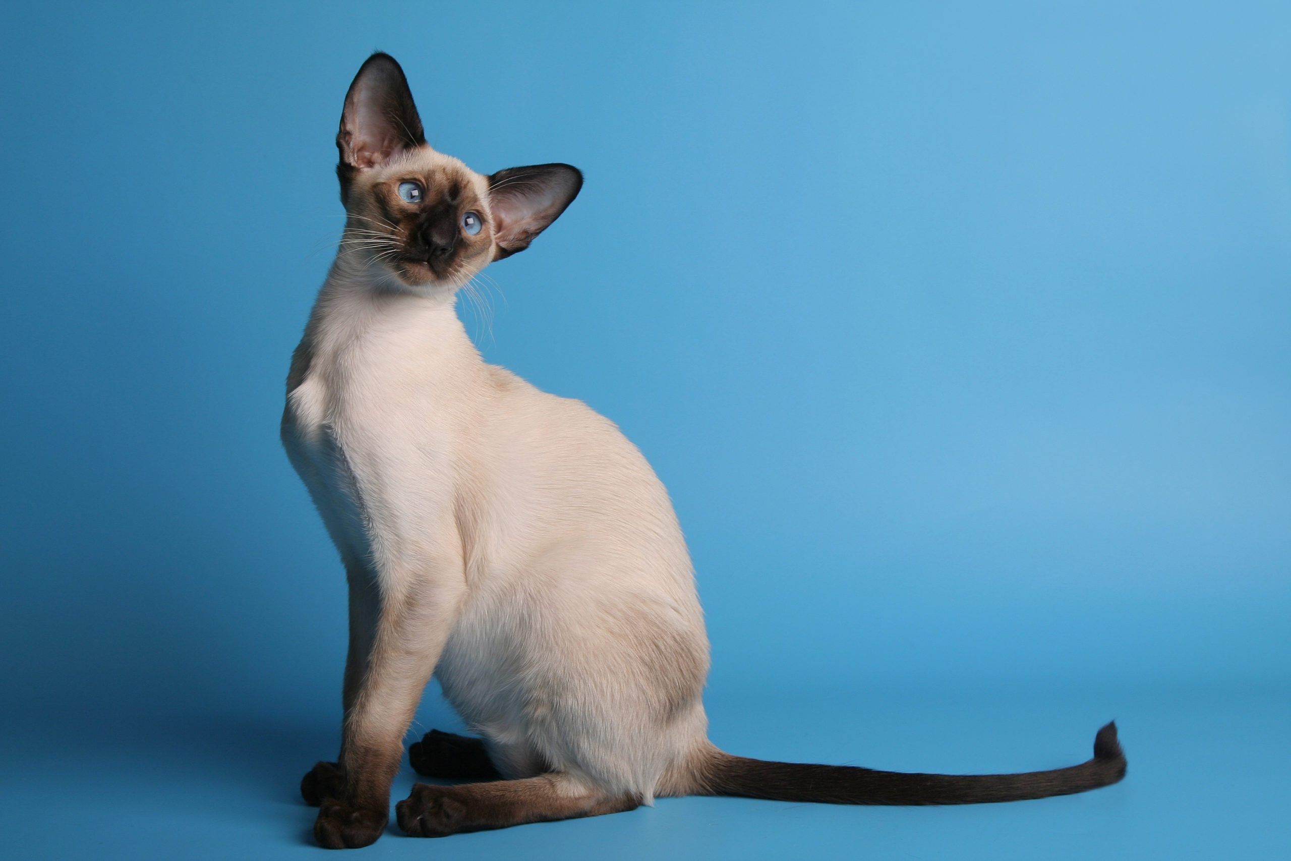 Siamese cat with blue eyes horizontal left side view