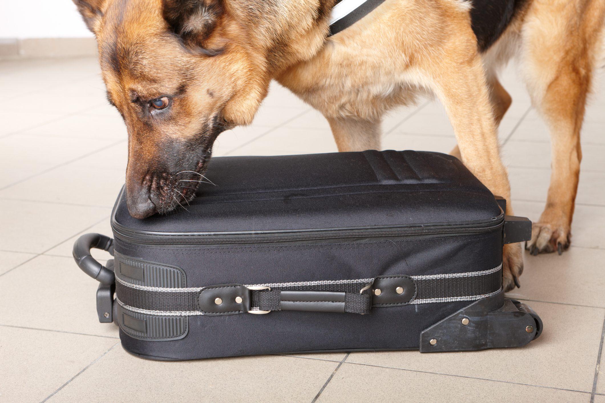 Police German Shepard dog sniffing luggage