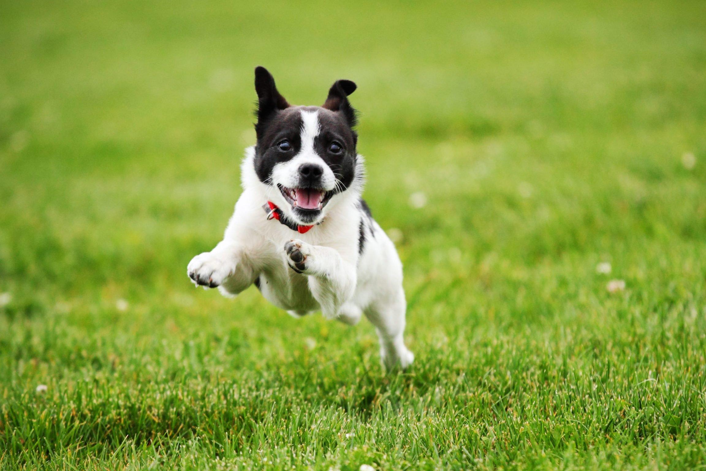 Dog Running through Grass