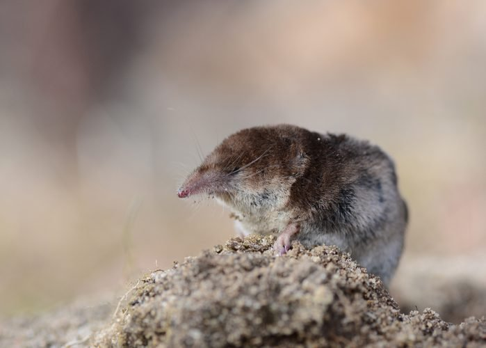 Pygmy Shrew