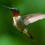 Hummingbirds Can See Even More Colors Than Humans, According to Researchers