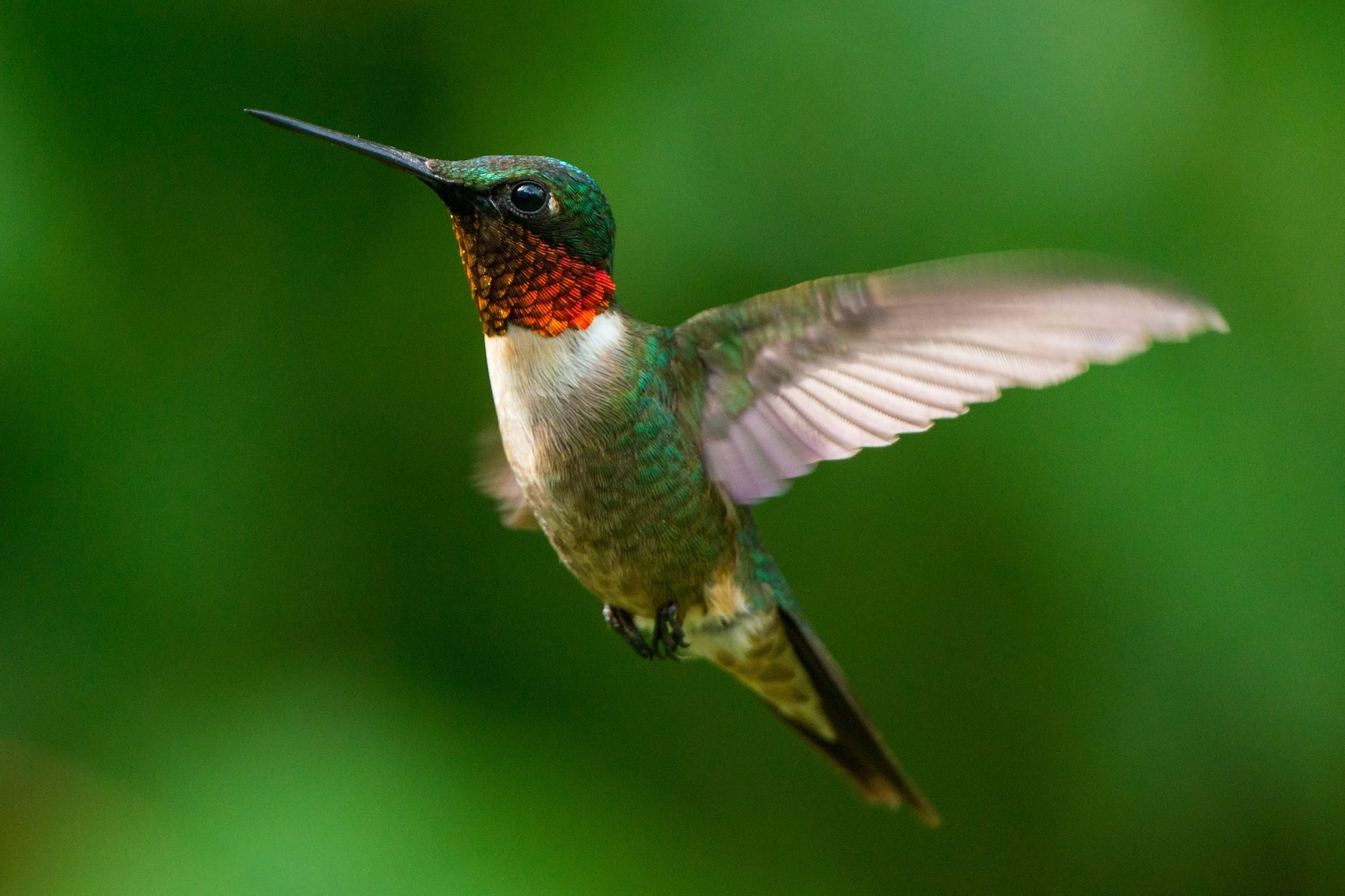 Male Ruby-throated Hummingbird wings fluttering