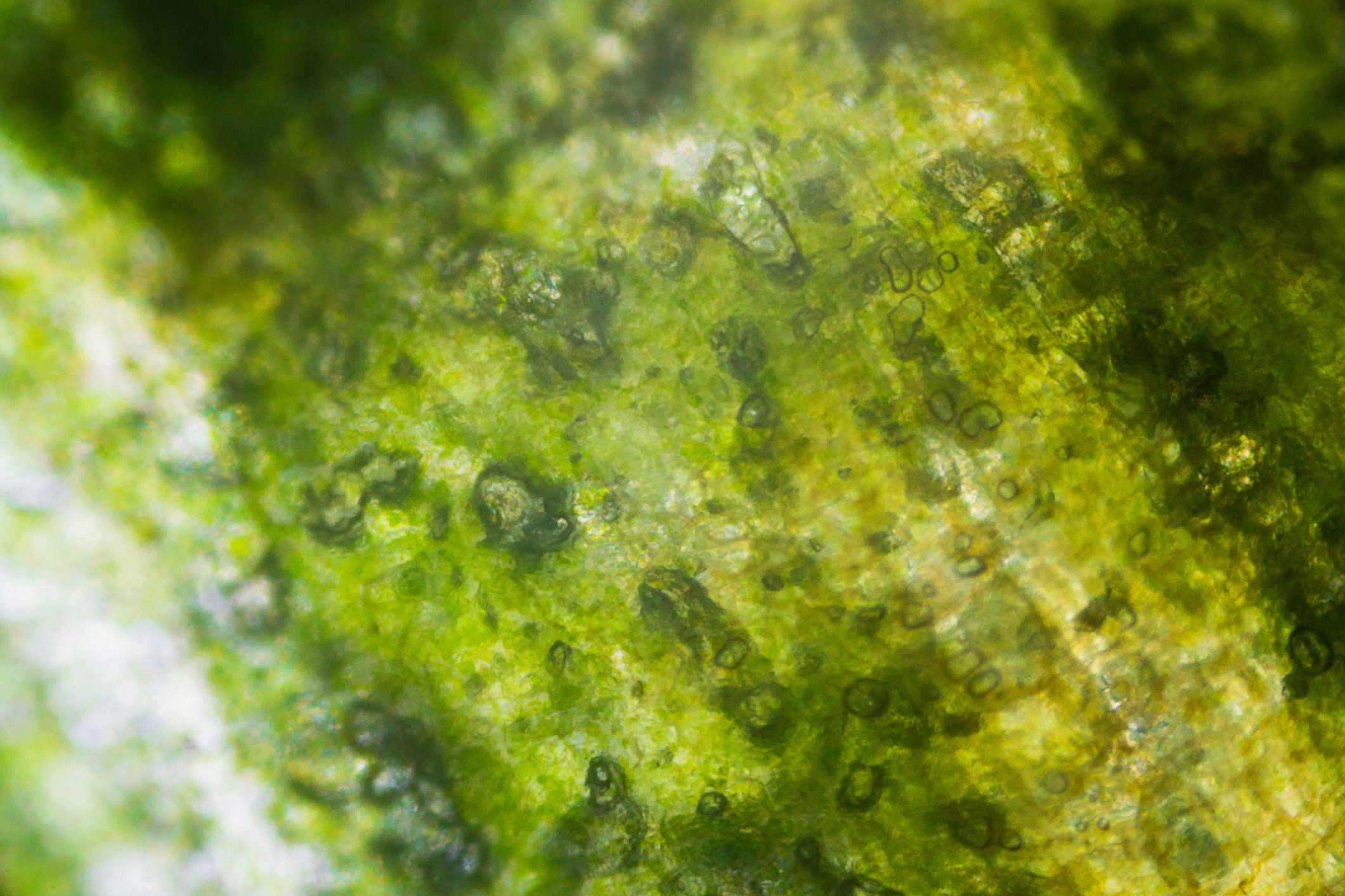 Pickled cucumber under the microscope