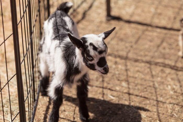 Black and white baby Nigerian dwarf goat