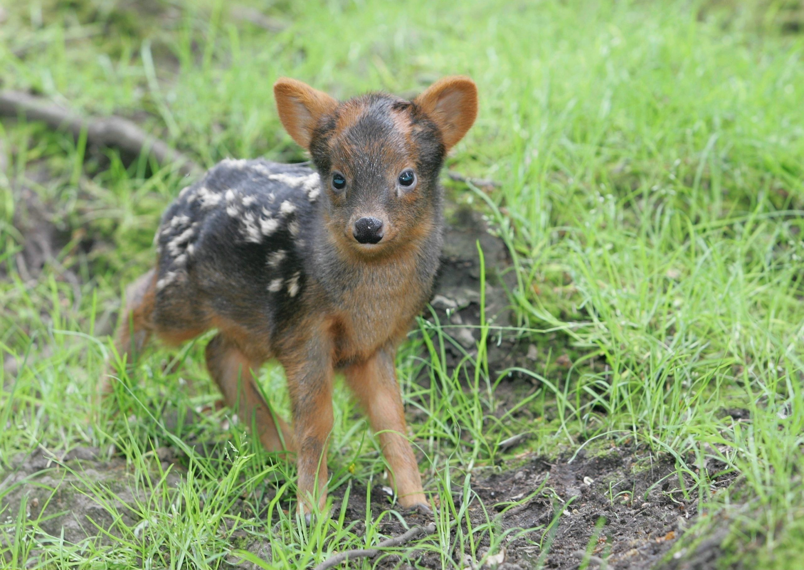 Pudus, Pudu, kleinste Hirschart der Welt aus Chile