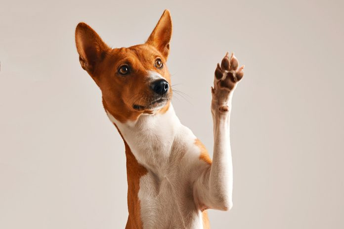 Adorable brown and white basenji dog with paw raised