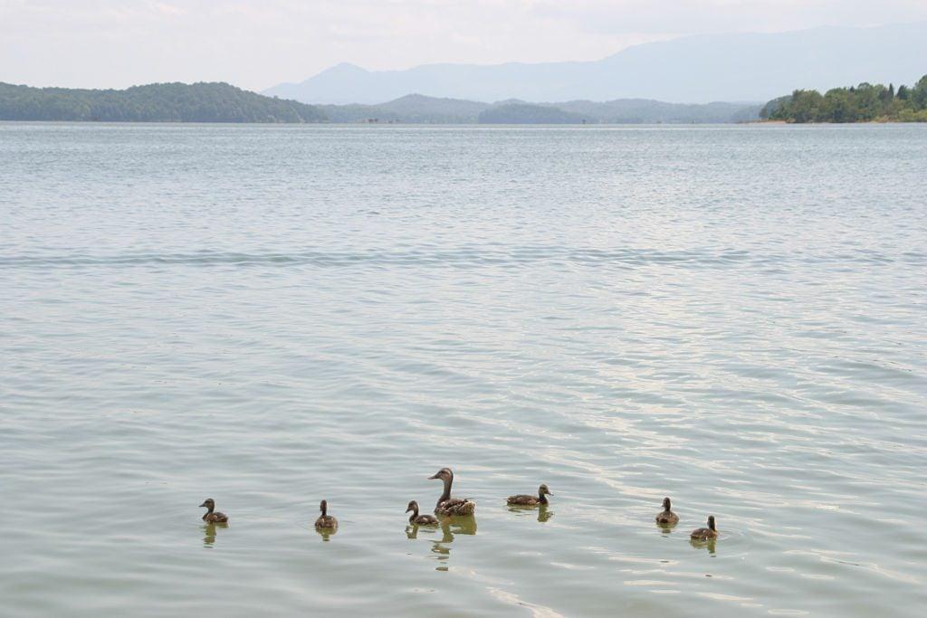 A family of ducks in the TVA Douglas Lake near Smoky Mountains.