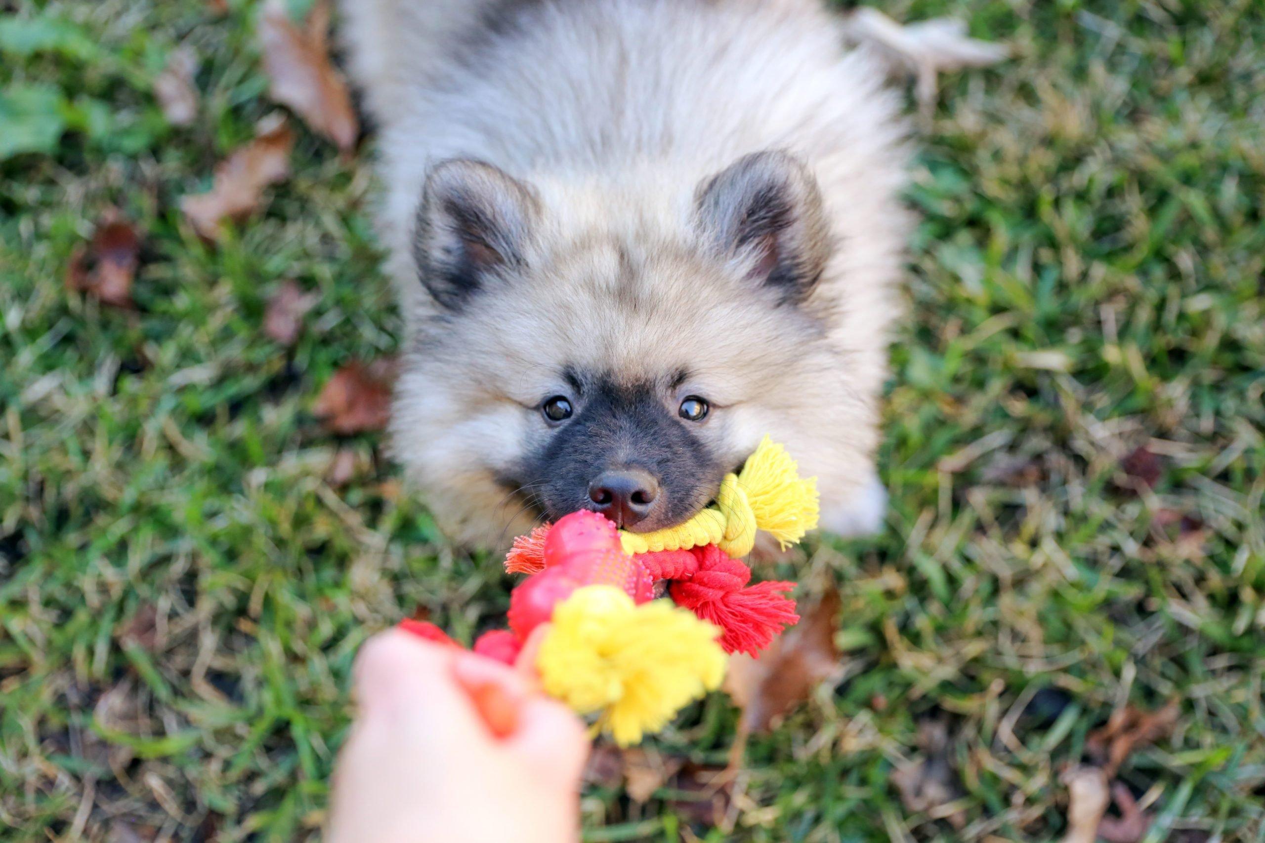 Playful Keeshond Puppy