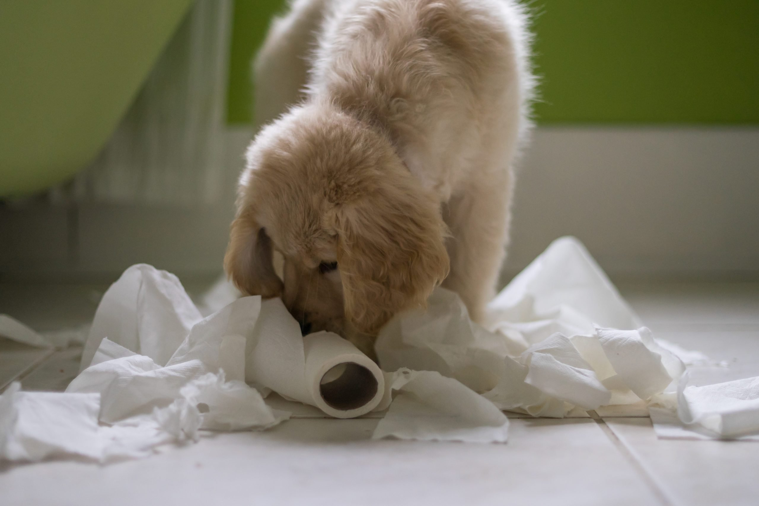 Golden retriever Puppy dog playing with toilet roll in bathroom