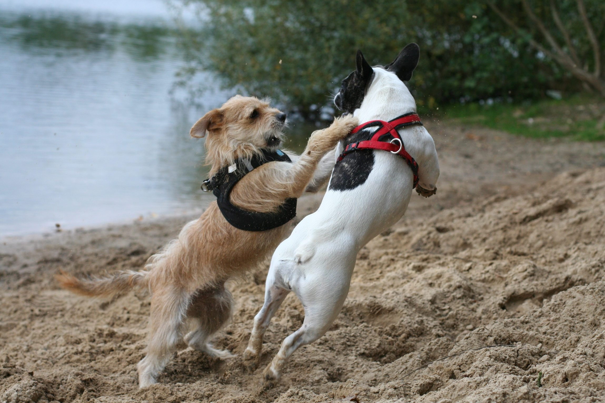 Dogs Playing On Lakeshore