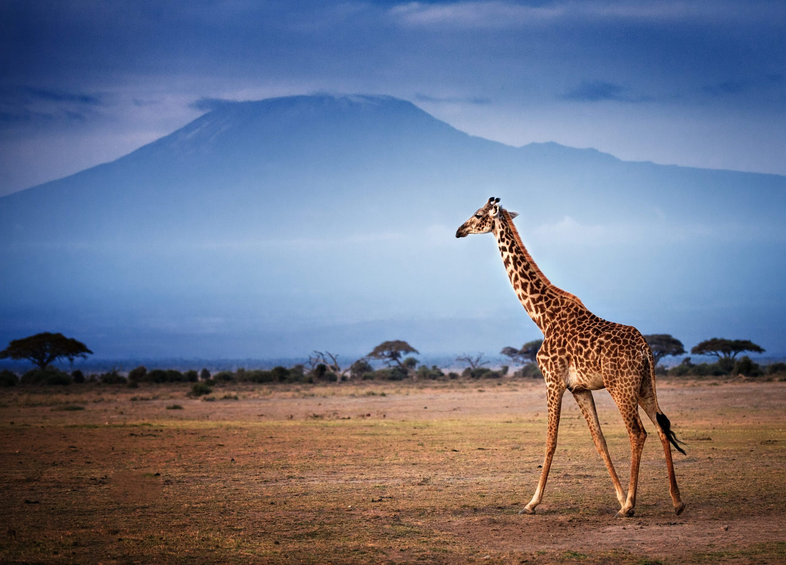 Giraffe Walking in Front of Mount Kilimanjaro in Amboseli
