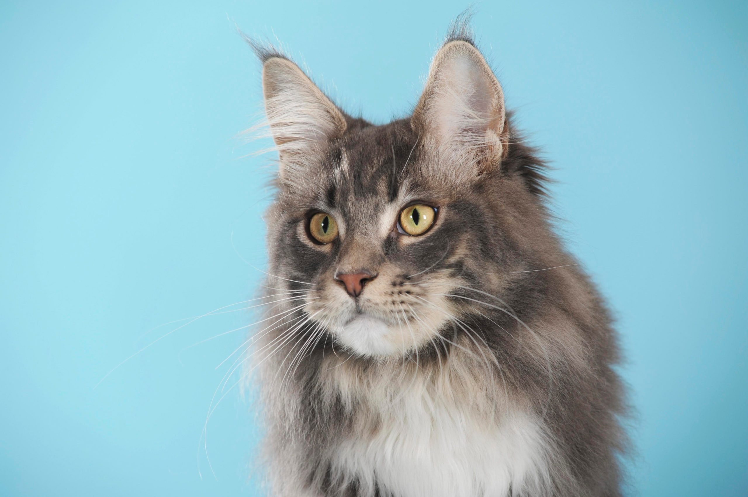 Maine Coon, cat, classic tabby, portrait