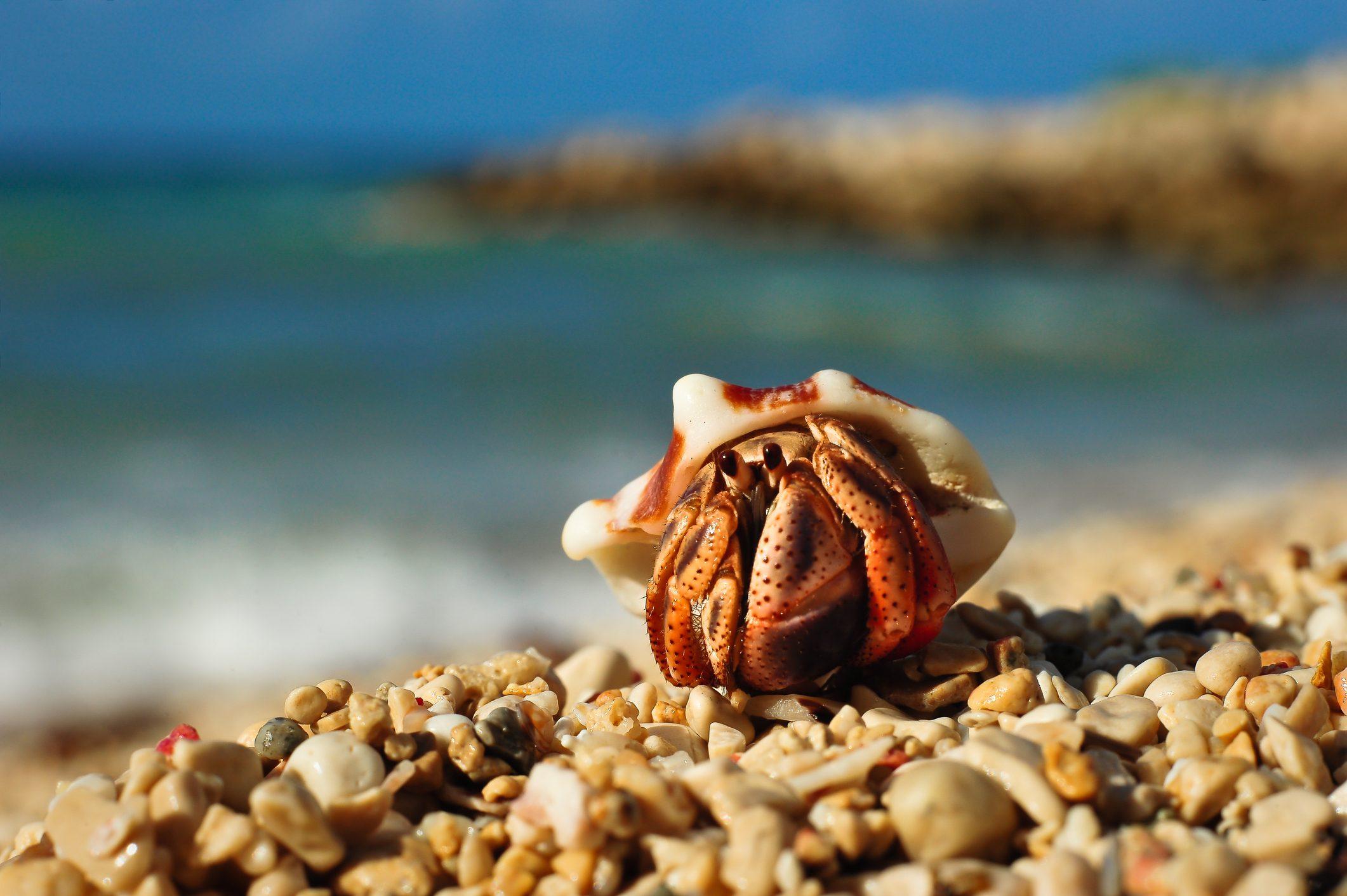 Hermit Crab (Paguroidea), Runaway Bay, Jamaica