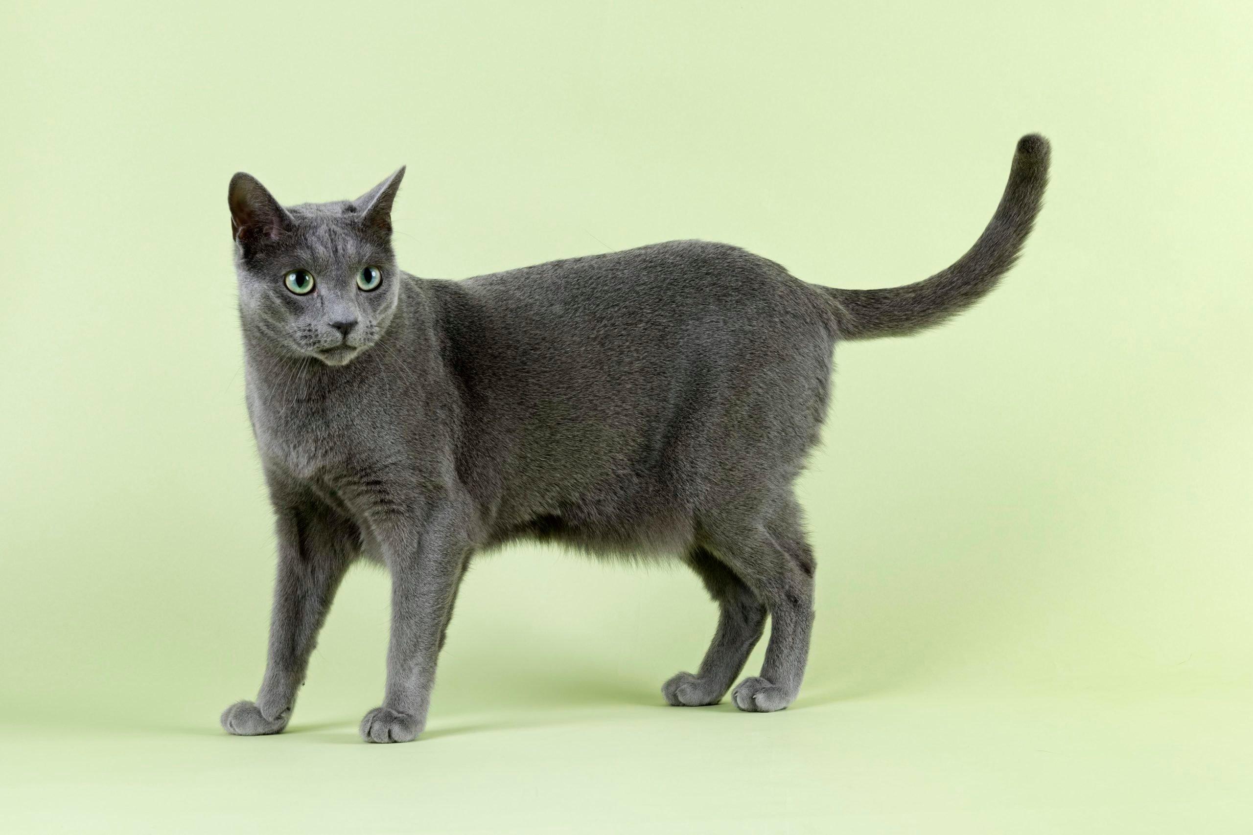 Pedigree cat Russian Blue (Felis silvestris catus)