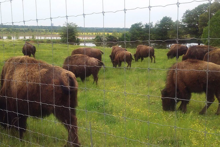 Bison in fence