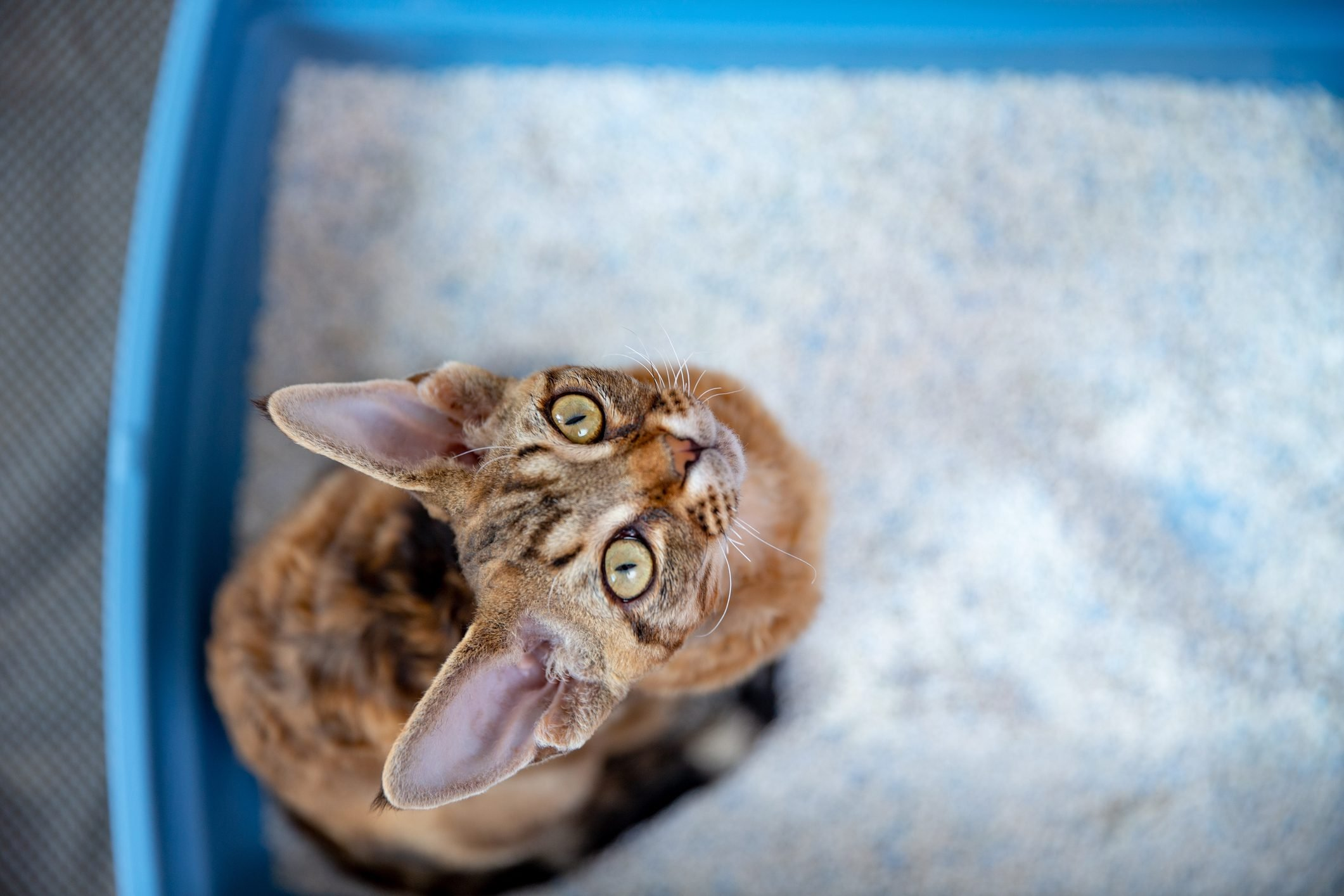 High Angle View of Devon Rex Cat Sitting in Litter Box Curiously Looking at Up - stock photo