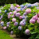 Here's How to Change the Color of Your Hydrangeas