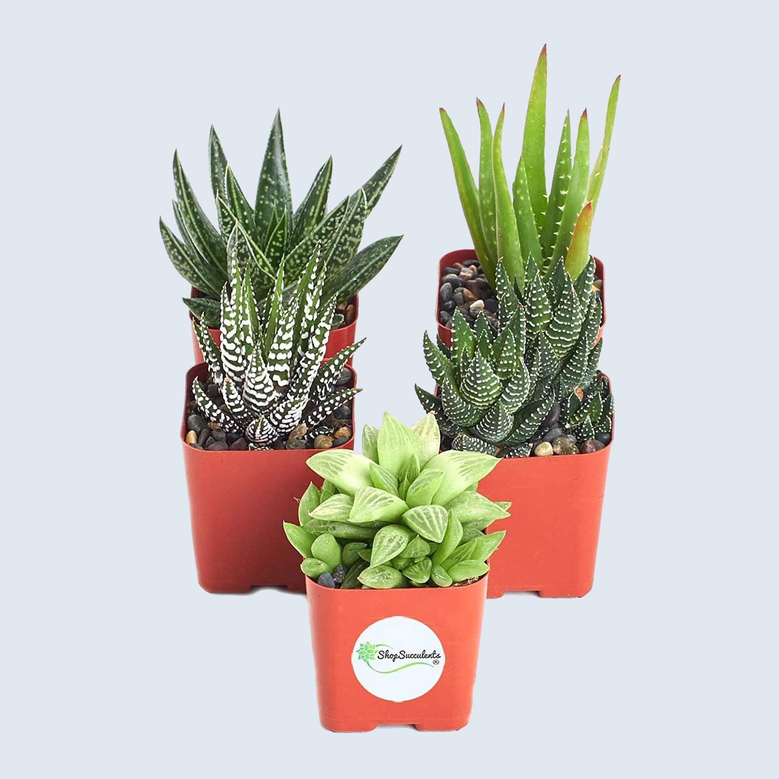 Indoor succulent plants, 5-pack