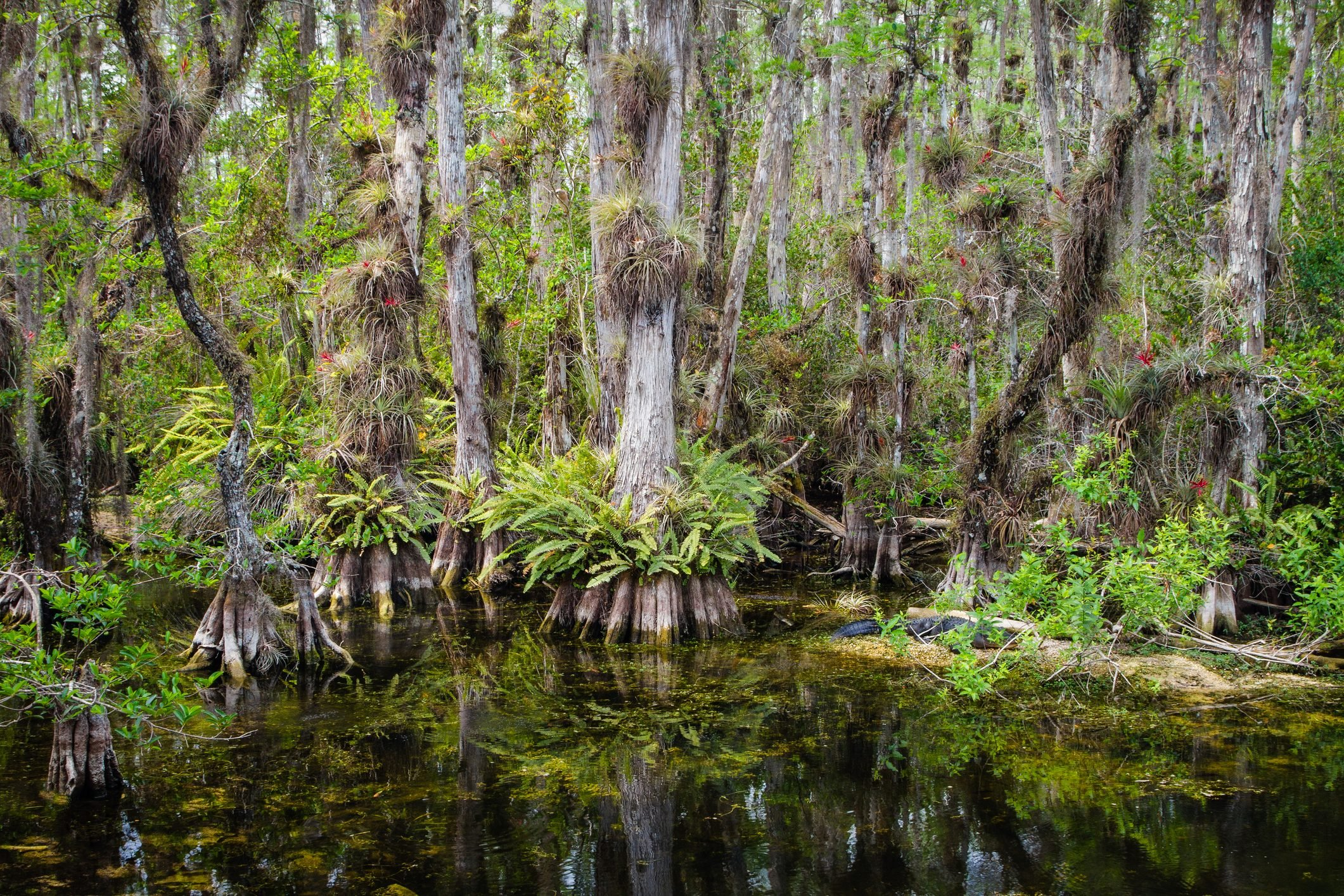 Everglades Tropical Cypress Swamp Landscape Showing Trees, Air Plants, and Ferns of the Swamp reflecting in Blackwater