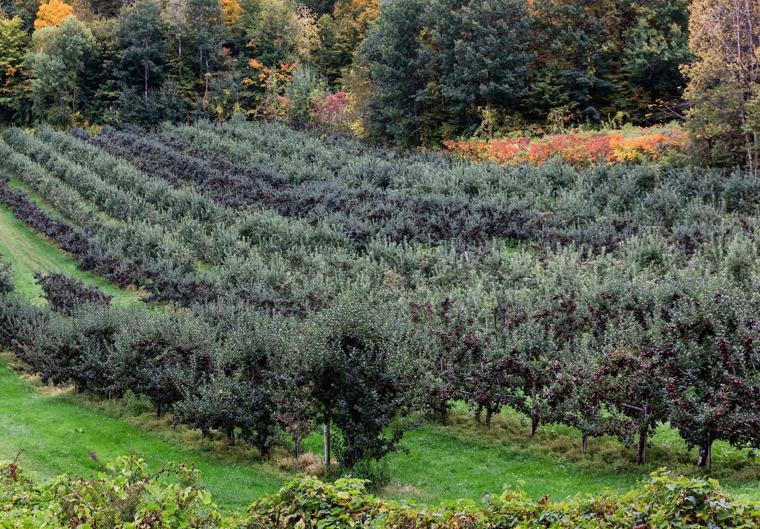 Apple orchard ready for autumn harvest...