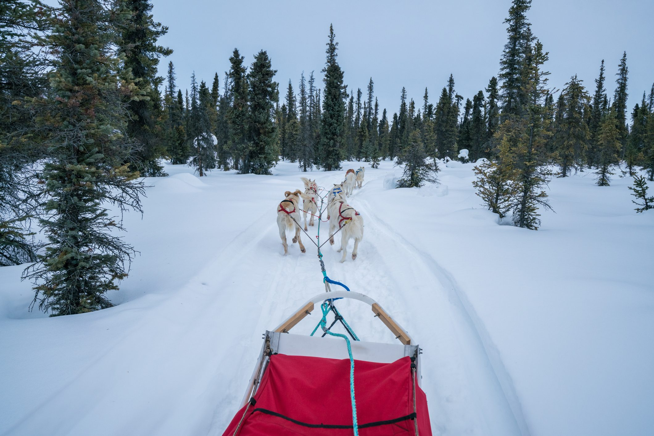 Alaskan Sled Dogs Pulling Red Sled on Snow Mushing Tour through Coldfoot, Alaska