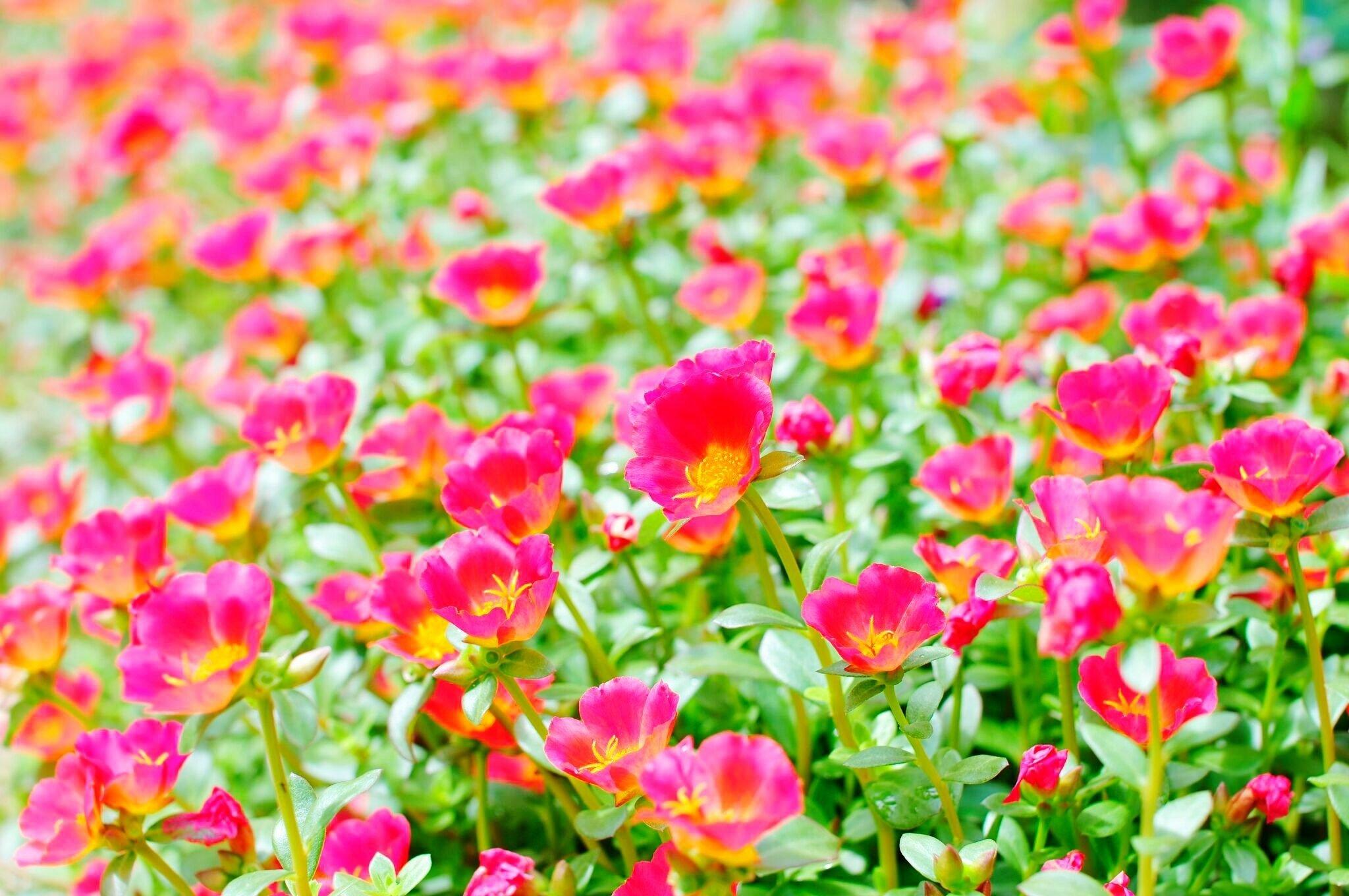 Close-Up Portulaca Grandiflora Flower Field