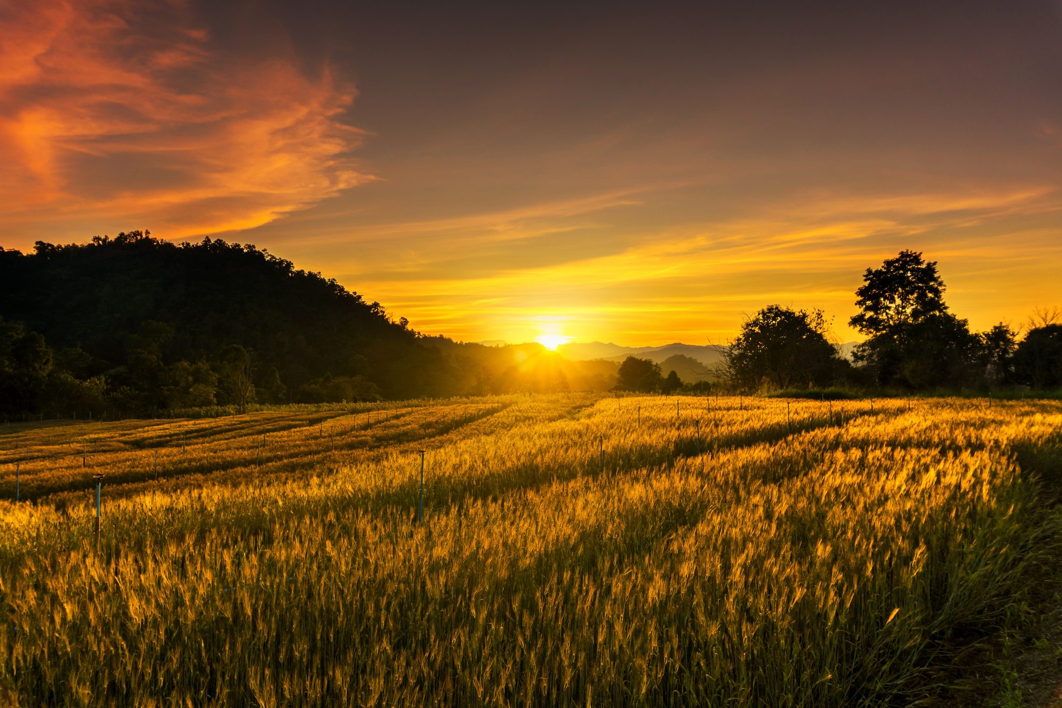 Landscape of Barley rice field at the sunset time with lens flare, travel and nature concept