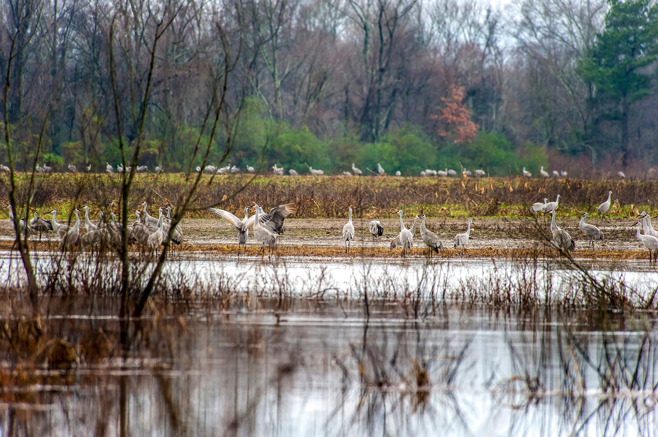 Sandhill Cranes at the Wheeler National Wildlife Refuge, Decatur, AL