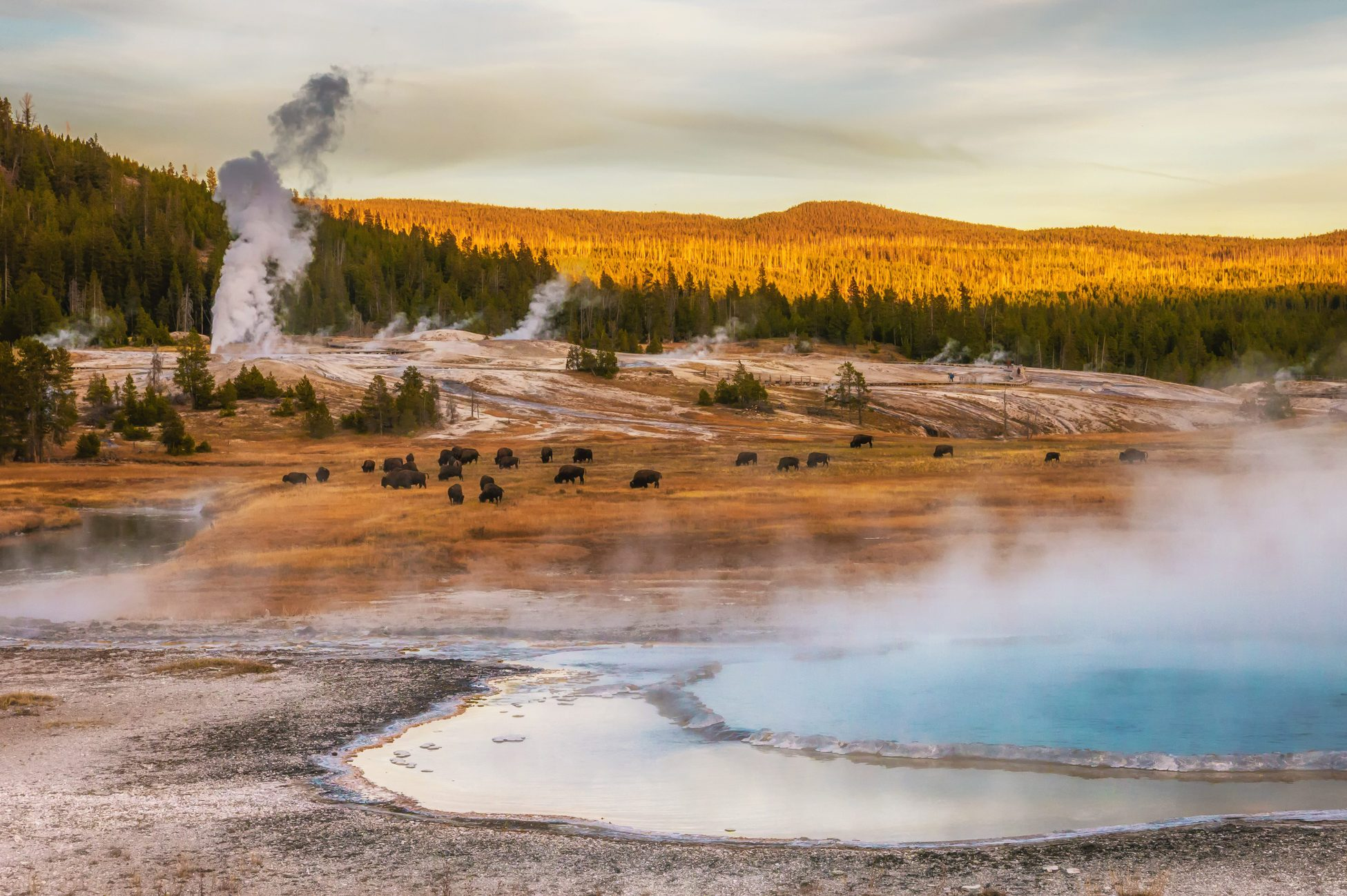 Steam rising from thermal hot springs and geysers. Bison grazing. At Yellowstone National Park, Wyoming, USA.