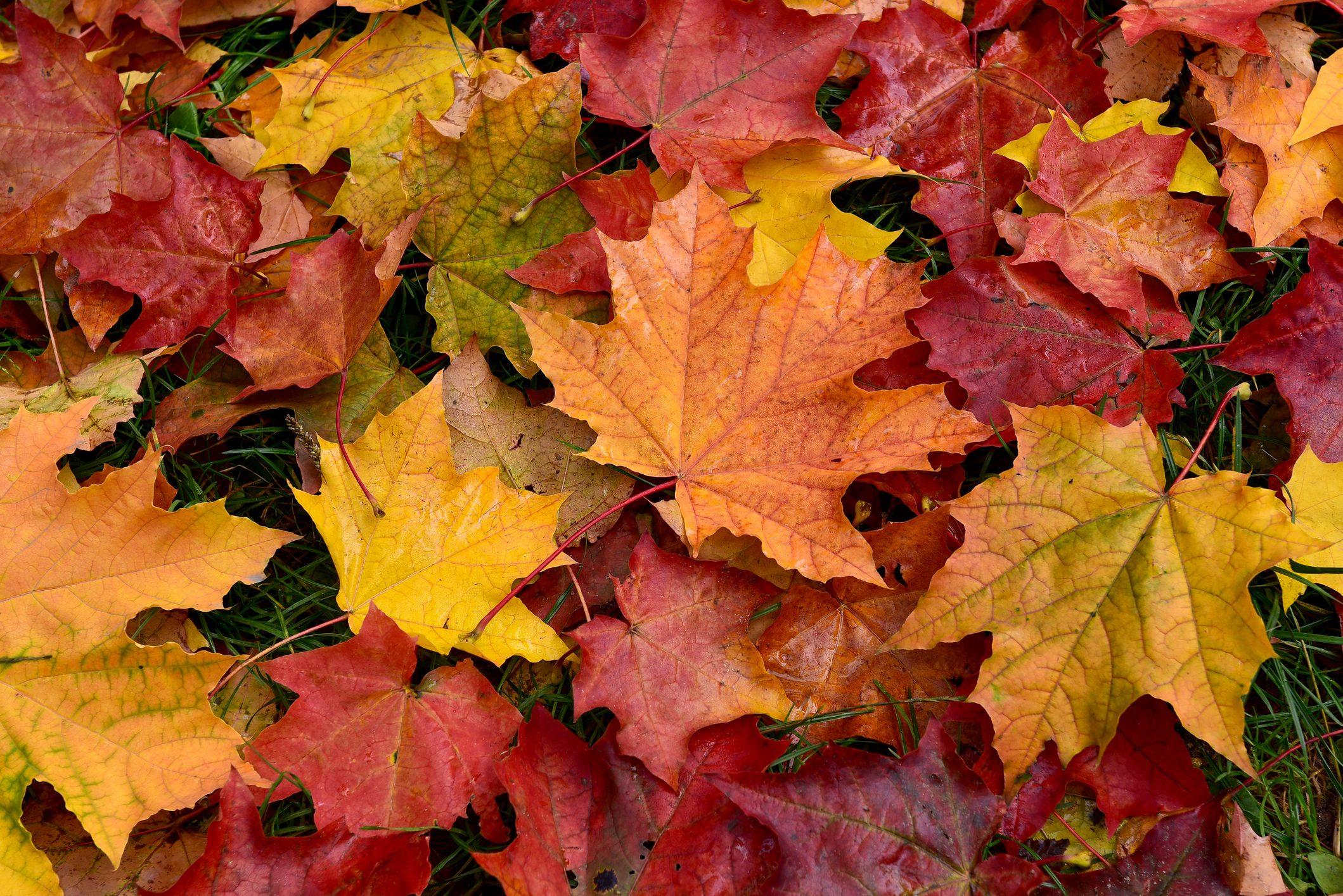 Autumn. Multicolored fallen leaves.