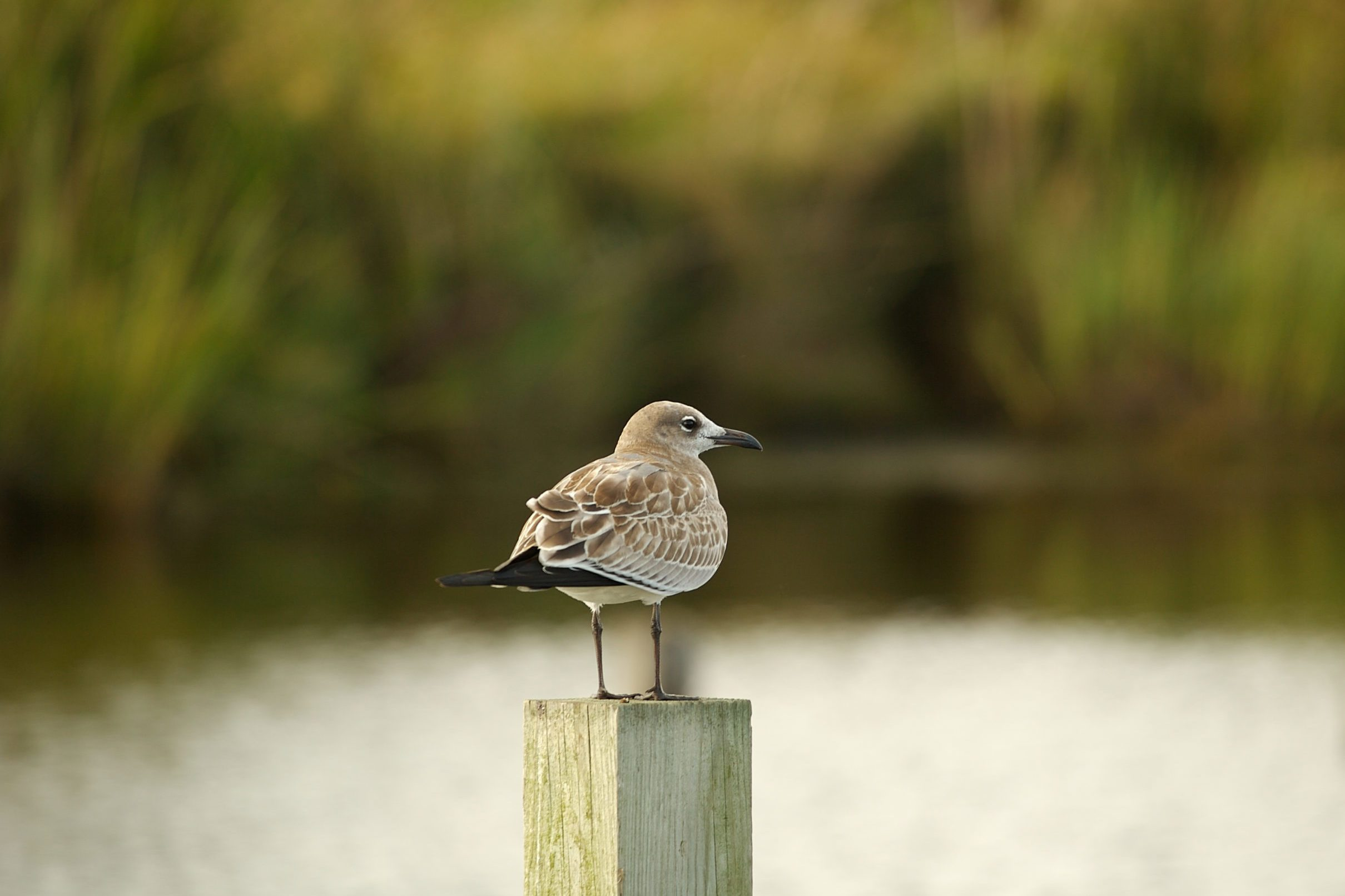 Gull on a piling