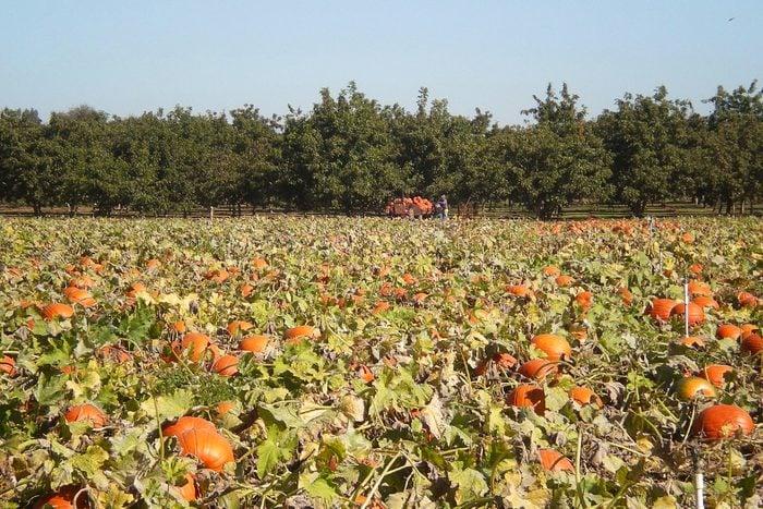 Bishops Pumpkin Farm In Wheatland California