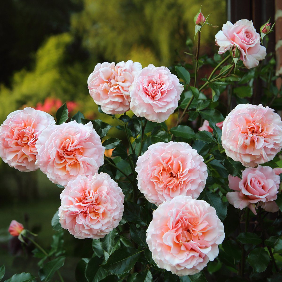 Rose bush covered with beautiful fragrant blooms and lit by early summer sunshine, English country garden, Surrey, UK