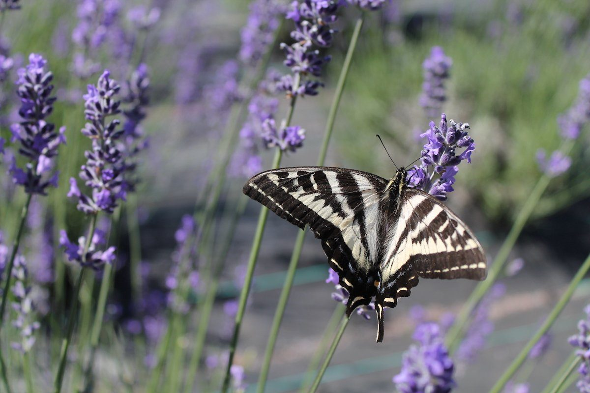 lavender and swallowtail