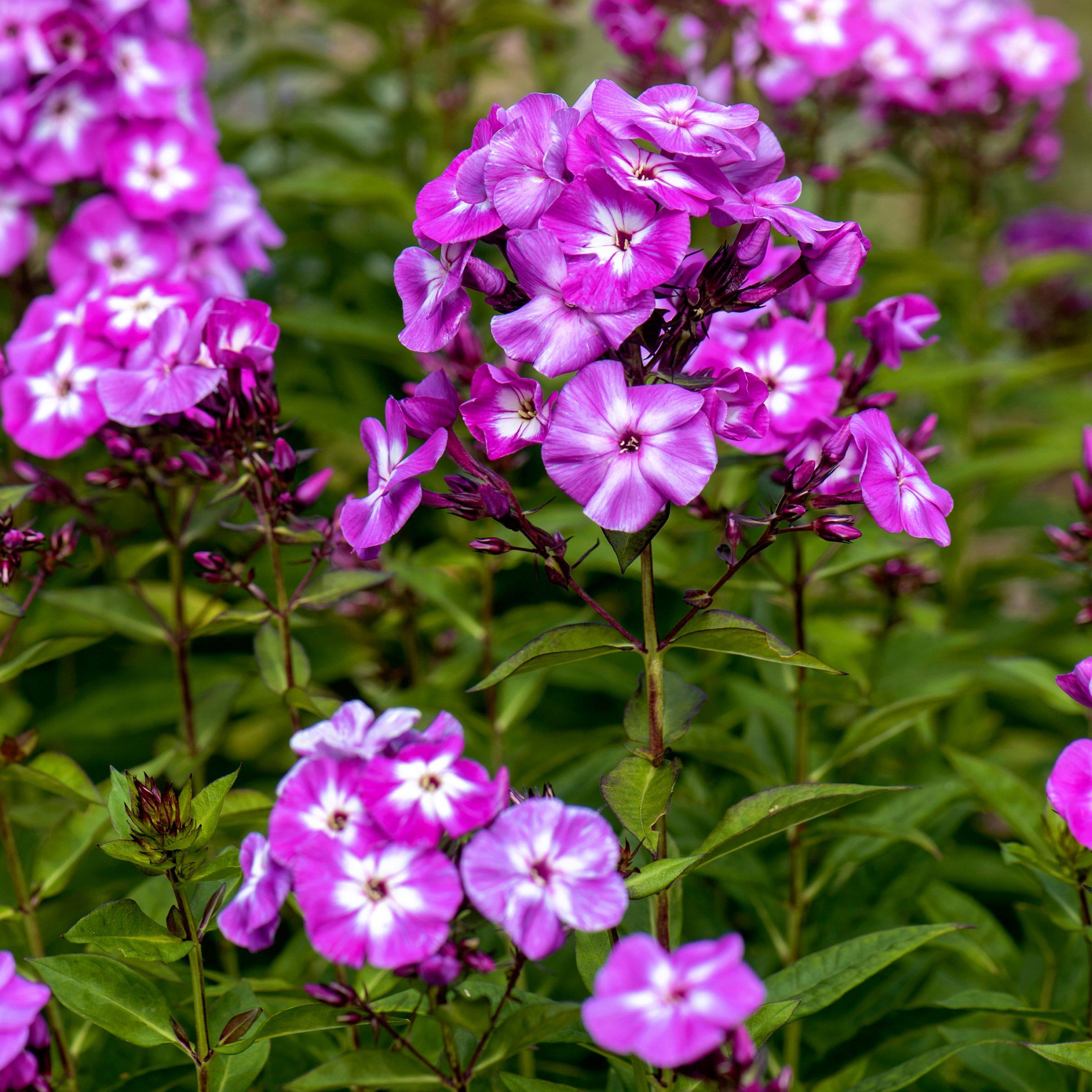 Beautiful pink, summer flowers of Phlox Paniculata 'Laura'