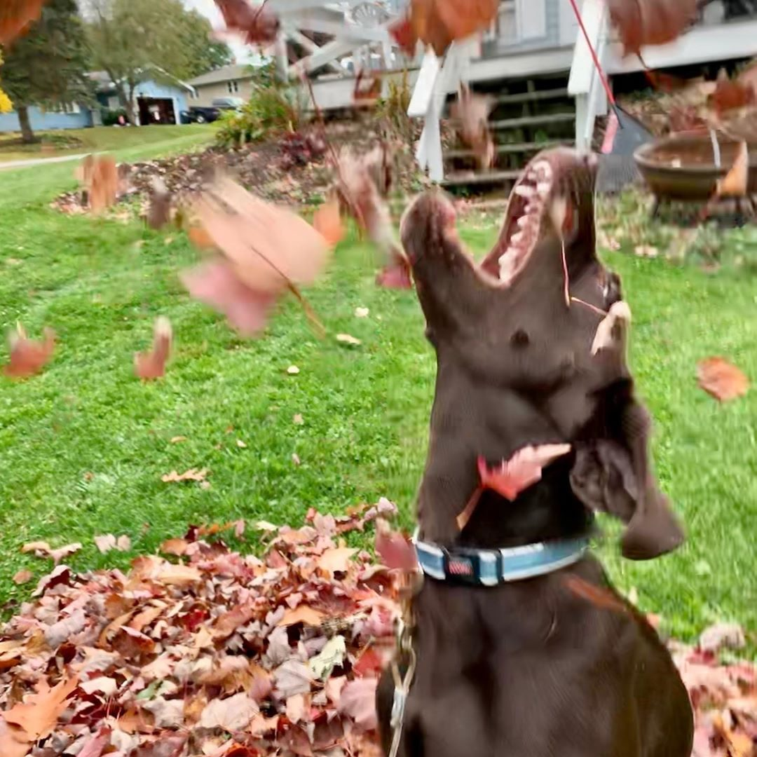 dogs playing in leaves fall