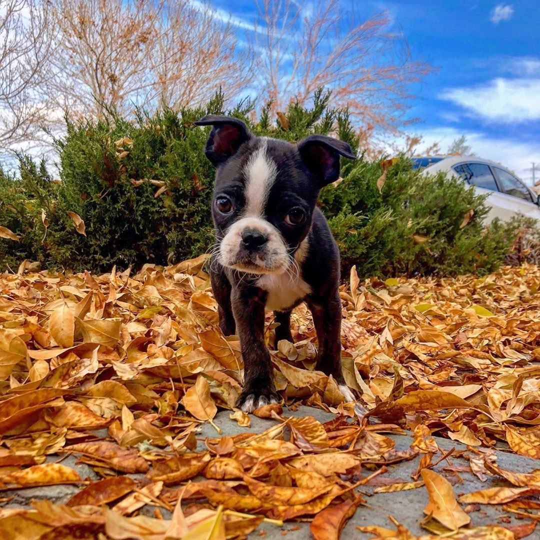 dogs playing in leaves