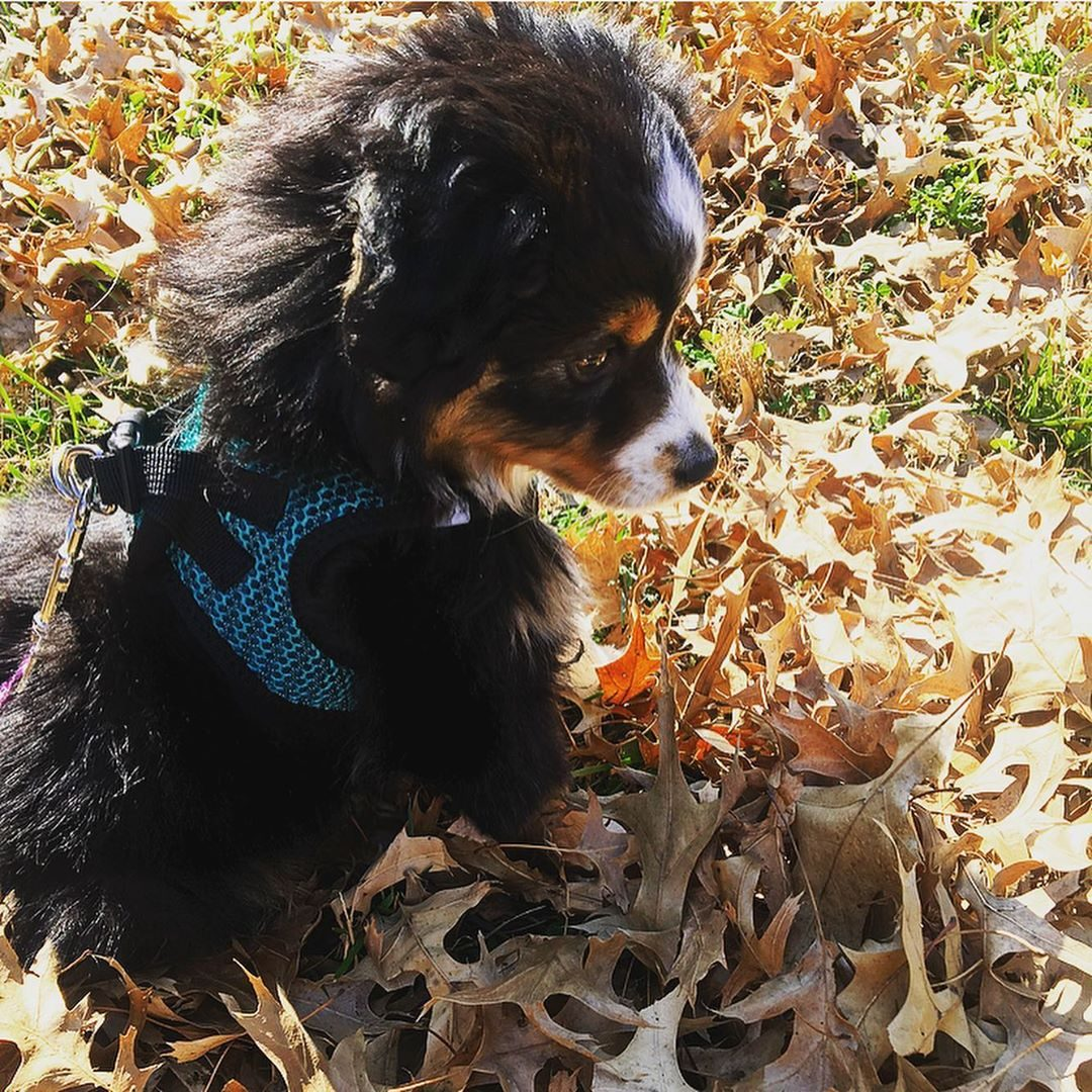 dog playing in leaves