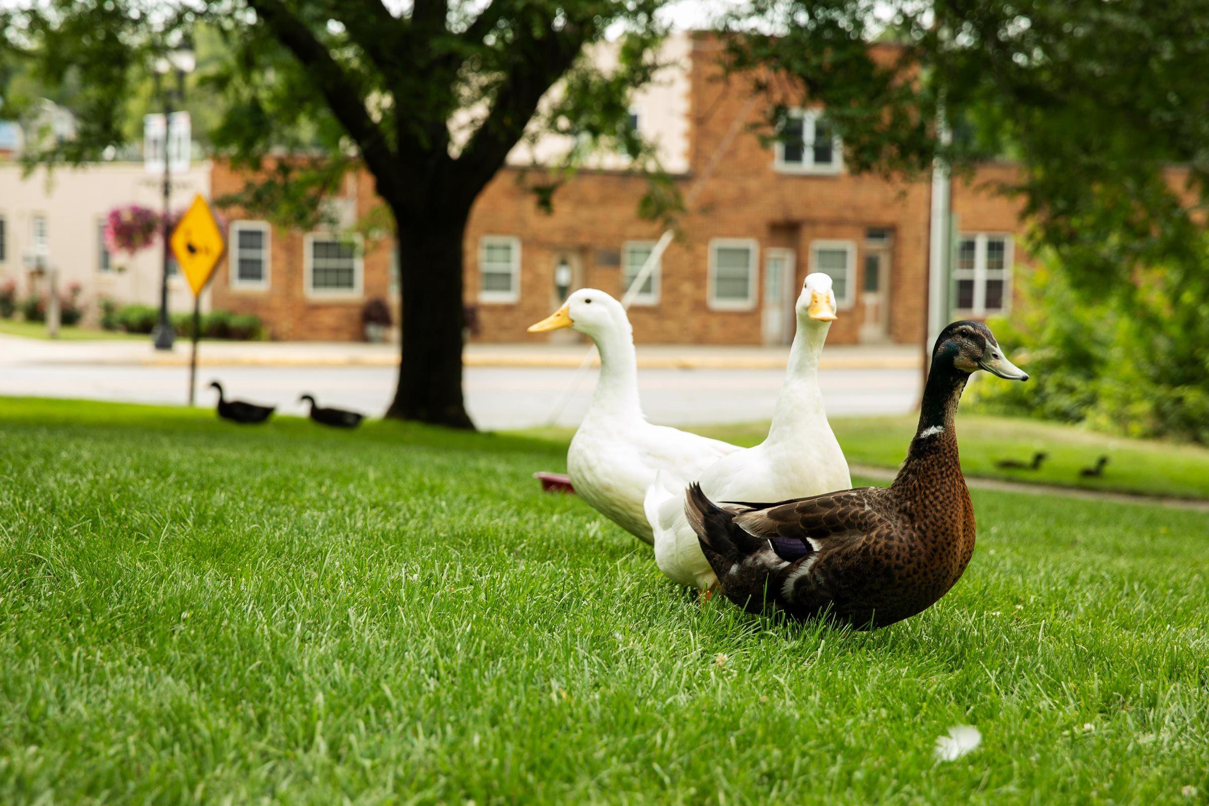 ducks in Buchanan, Michigan