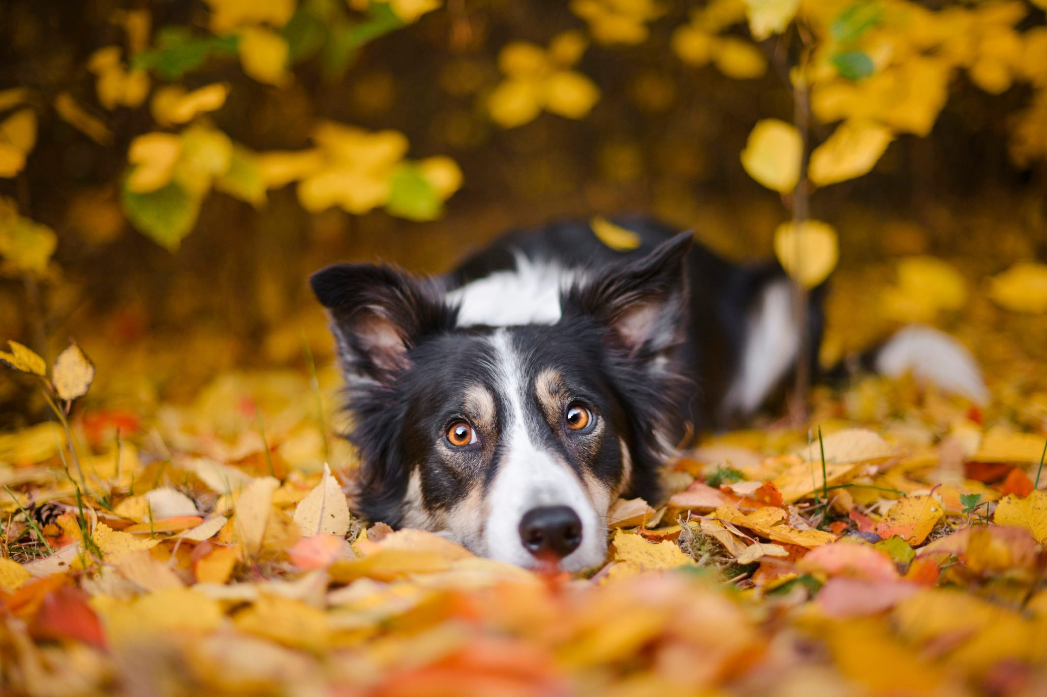 Border Collie and autumn colors
