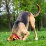 Why Do Dogs Like to Bury Bones?