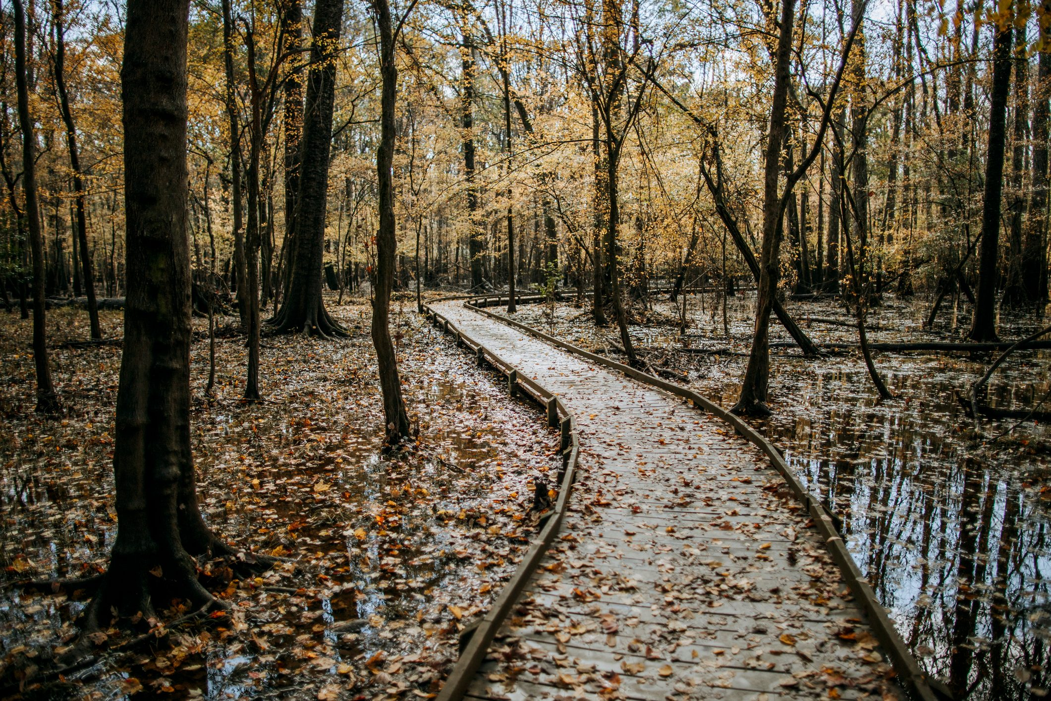A boardwalk through the swamps of Congaree National Park in the fall