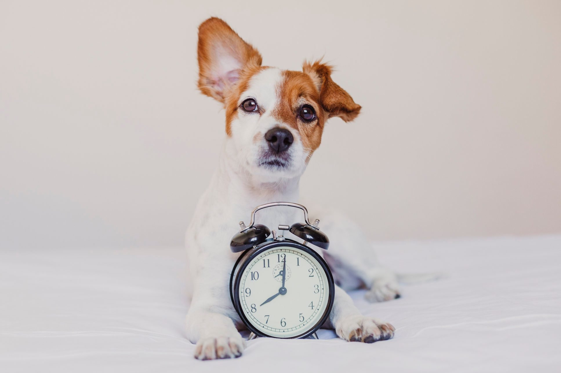 cute dog lying on bed with an alarm clock set on 8 am. morning and wake up concept at home. Pets indoors, lifestyle
