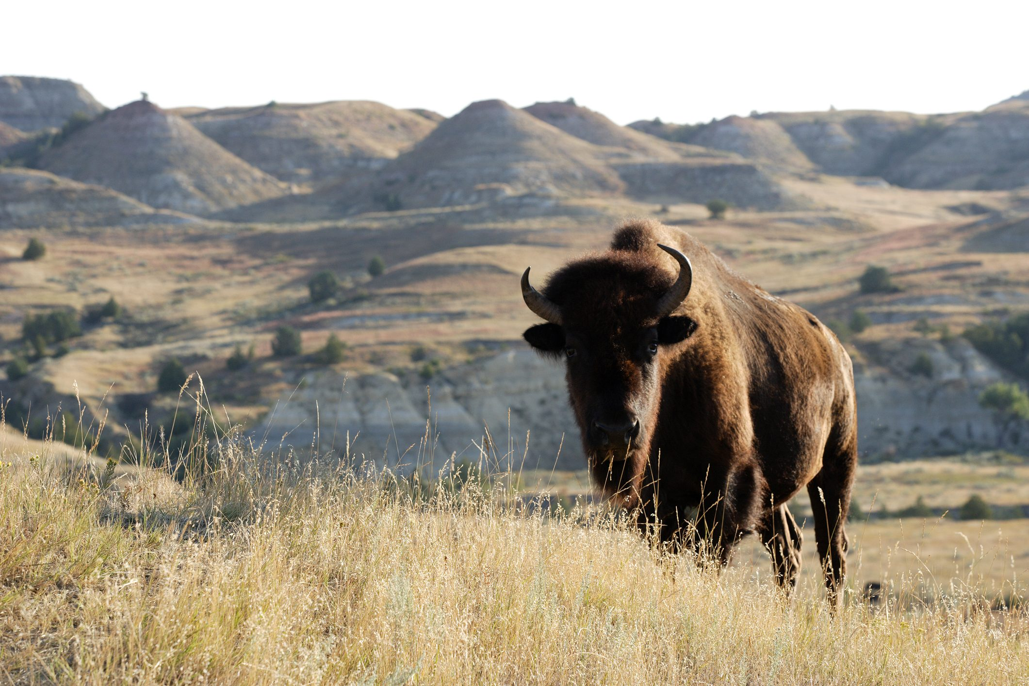 Bison on the landscape of grass and hills